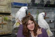 Какаду- разные виды ( ручные птенцы выкормыши)
