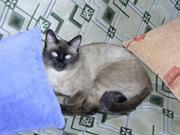 Приглашаем на вязку. Cиамский (тайский) кот.