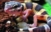 Ручные гекконы Токи,  Фельзумы,  Реснитчатые - малыши и подростки!