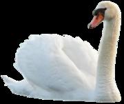 Продам молодых  лебедей