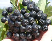 Продаются саженцы Аронии (черноплодной рябины).