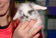 Декоративные крольчата,  кролик - отличный подарок к праздникам