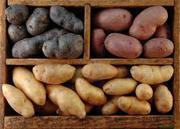 Продаю посадочный сортовой картофель первой репродукции