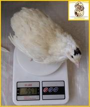 Яйца инкубационные перепела Техасец - супер бройлер (США).