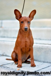 Цвергпинчер щенок.