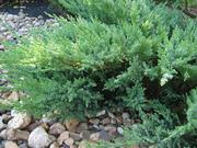 Продаем хвойные в ассортимете и много других растений.