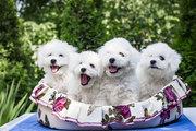 Бишон фризе щенки