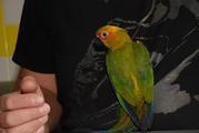 Продажа ручных попугаев. Аратинги - различные виды