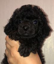 Пудель щенок мальчик