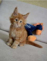 Мейн Кун котята Киев купить мейн Кун цена