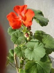 Пеларгония,  взрослое растение,  красиво цветущее