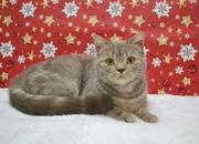 Славная шотландская кошечка,  котята