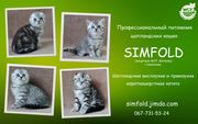 Шотландские котята. Днепропетровск.