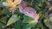 Леопардовый геккон,  ручные драконы для домашнего содержания.