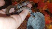 Африканская домовая змея,  удивительный,  миролюбивый вид змеи. Самки
